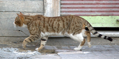 Streetcat, out for a trot.