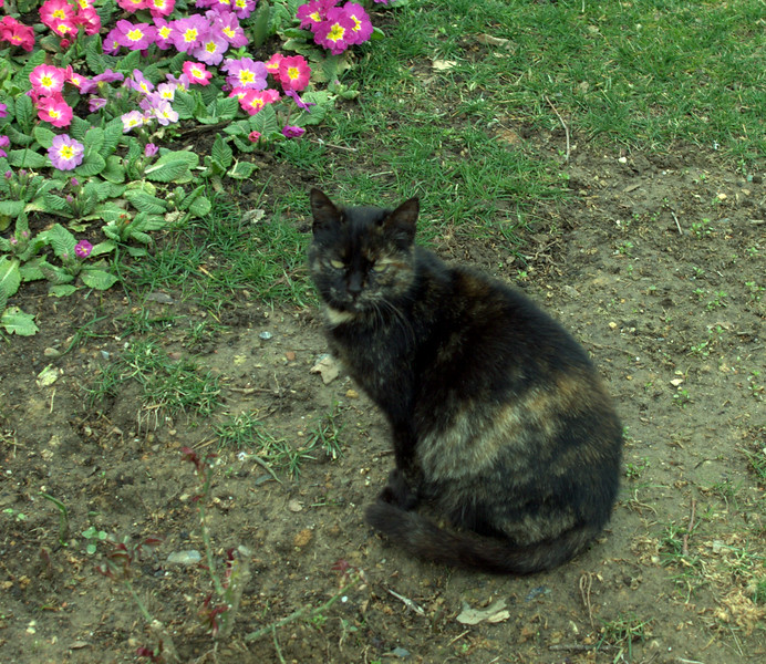 Smoke tortie. (blurry)