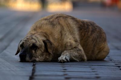 Istanbul Dog Portrait