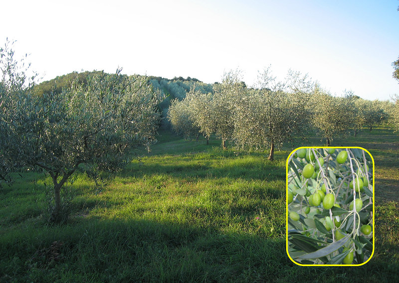 Olive trees as far as the eye can see, Country House Montali [inset img]