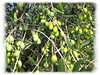 Olives, Country House Montali [edgefade10 frame]
