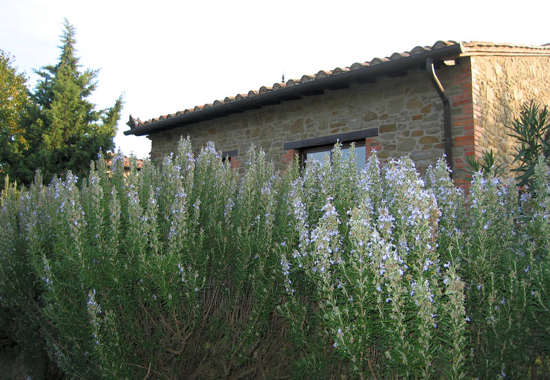 Blooming rosemary, Country House Montali cl