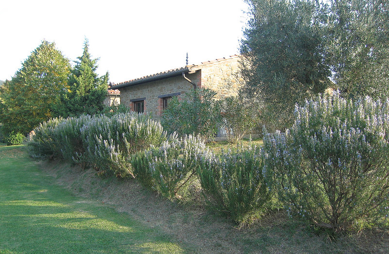 Blooming rosemary, Country House Montali