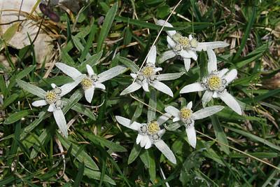 D_008 Zuidwesten van Croda da Lago Edelweiss