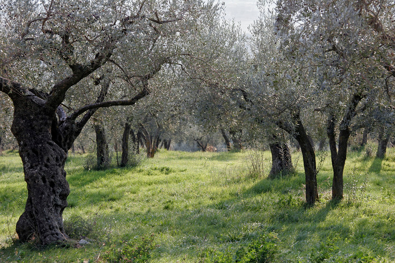 Olive trees near San Damiano, Assisi