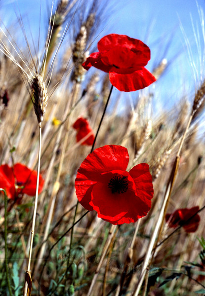 """""""And Then They Mowed"""", a shot I got by luck one day before the entire field of grain and poppies was mowed down. The scene was just behind the Seventh-Day Adventist School where we lived for the month."""