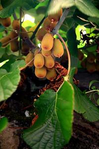 Kiwis growing in Monterosso.