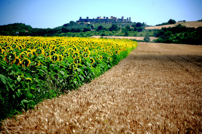 The shot I drove our car into a ditch for -- Umbrian vista of sunflowers, wheat, and hill town.
