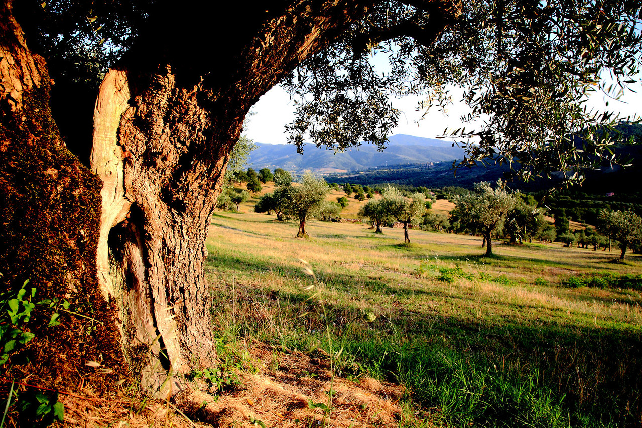 Olive grove at Villa di Monte Solare.