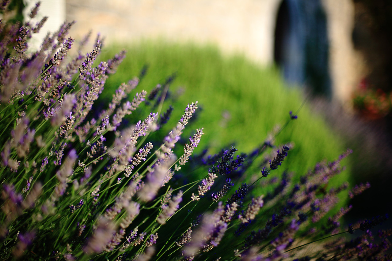 Lavender growing on the grounds of the Castello di Spaltenna resort.