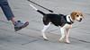 florentine beagle