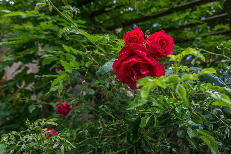 The rose bush was nice to look at, but sometimes painful when navigating the stairs with bicycles.