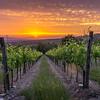 Sun setting on Casamonti vineyard