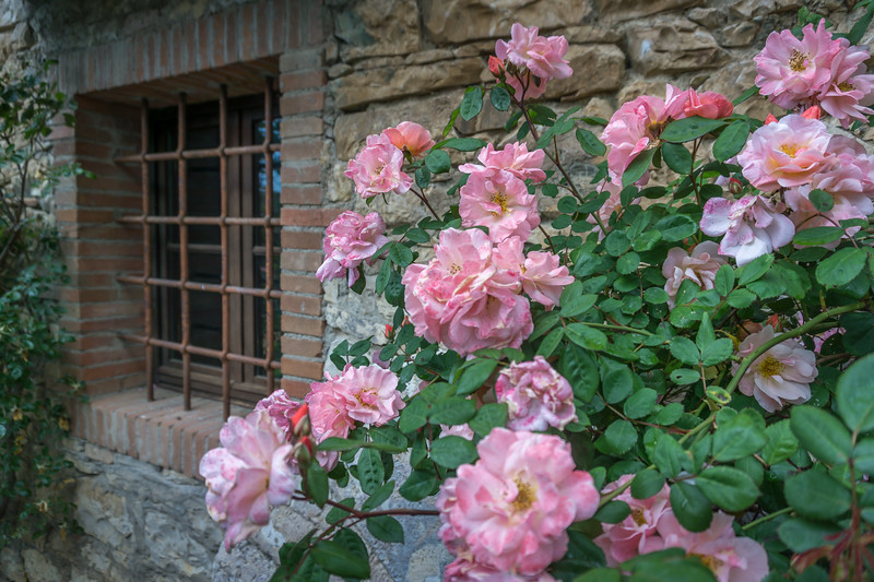 Roses at the Main House