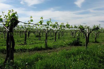 Balsamic vinegar vines