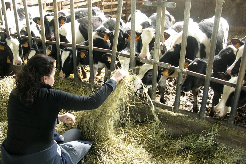Parma cows