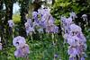 Irises were in full bloom.