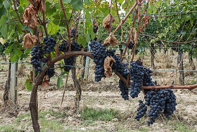 "Sangiovese gets its name from the Latin sanguis Jovis, ""the blood of Jupiter"