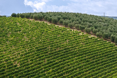 Vineyard and olive grove in Tuscany