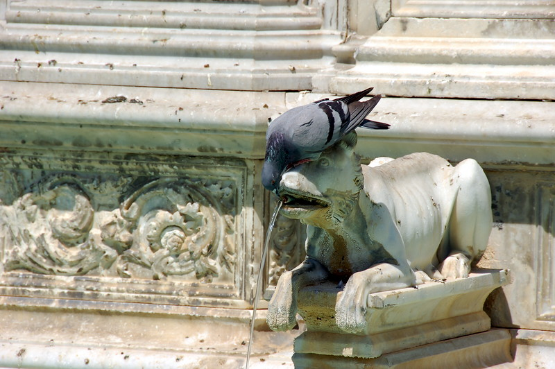 Pigeon quenching its thirst at the Fonte Gaia