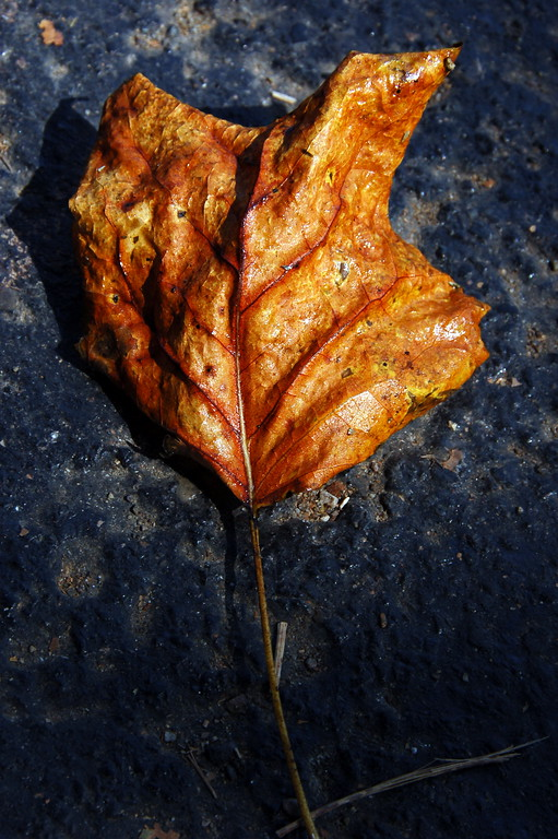 Fallen leaf - notice the shine on the leaf? Couldn't figure out what it is ...hmmm...