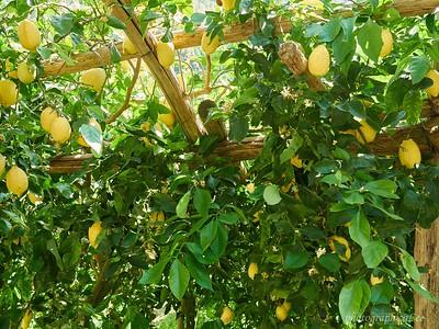 Lemon groves galore