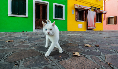 This cat is a Turkish Van I think.  Note the different coloured eyes, or maybe they have  just gotten like that from living in Burano.