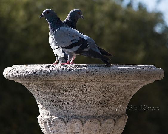 Perugian Pidgeons