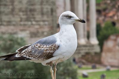 Seagull in Roman Ruins