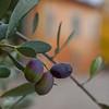 Ripening olives - MonteStigliono