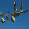 More Olives (Stigliano)