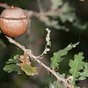 not your average acorn