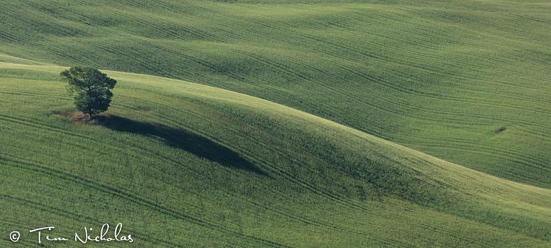 Lone tree on a Tuscan farm