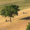Tuscan farm: tree with hay bales