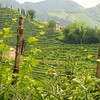 Prosecco vineyards