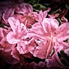Pink Flowers with black vignette