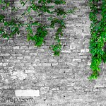 Old brick wall with an ivy (copy space)