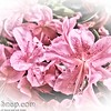 Pink Flowers with white vignette