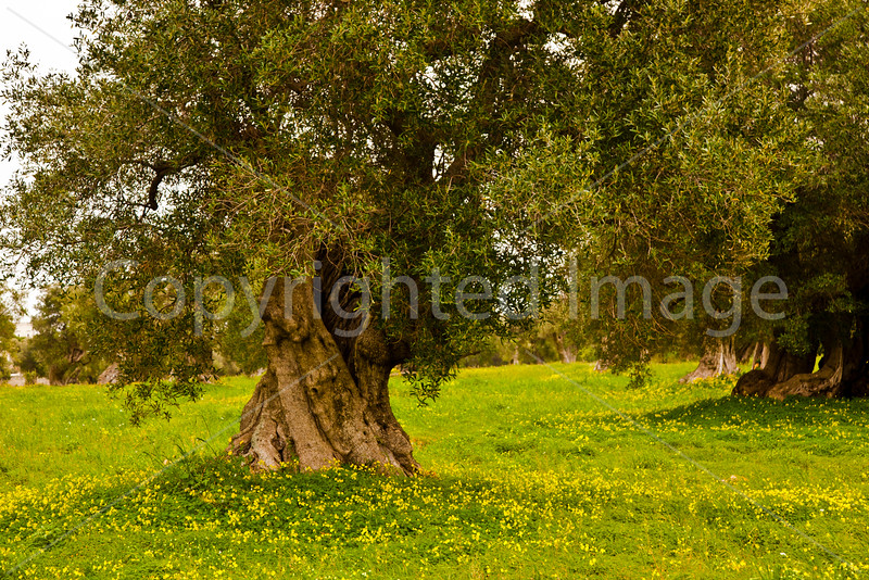 Olive tree and flowers