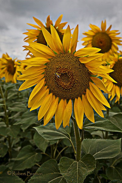 Sunfowers of Tuscany
