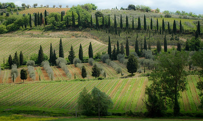 Vineyards, near Montalcino