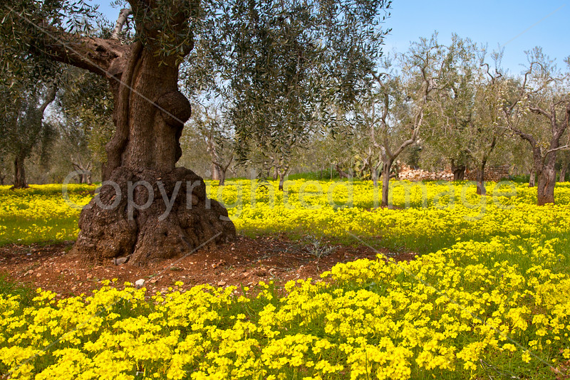 Olive Grove with flowers