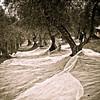 VC Olive Harvest 20101113 - 0015