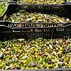 VC Olive Harvest 20101113 - 0049