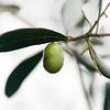 VC Olive Harvest 20101113 - 0001