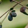 VC Olive Harvest 20101113 - 0016