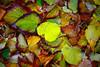 ITA- Autumn leaves IMG_0779