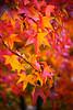 ITA- Autumn maple leaves IMG_0480