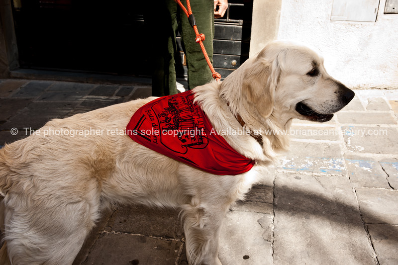Dog in his saints scarf. Dressed in colours of their patron saints, the people of Gubbio fill the streets marching and celebrating. Italian images.