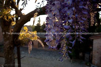 Purple wisteria fine at Castel Petraio, Monteriggioni. Italian images.